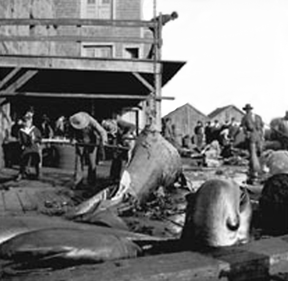 Cutting Whales on the Wharf in New Bedford late 1800's early 1900's - www.WhalingCity.net